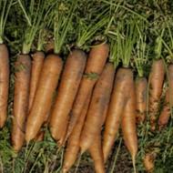 Морковь Нантес Тип-Топ /0,5 кг семян/ *United Genetics*