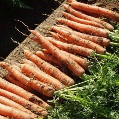 Морковь Наполи F1 (2,0-2,2 мм) /100.000 семян/ *Bejo Zaden*