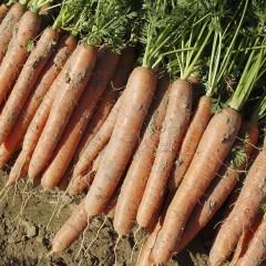 Морковь Нарбонне F1 (2,2-2,4 мм) /100.000 семян/ *Bejo Zaden*