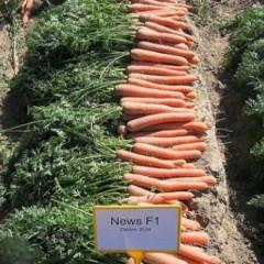 Морковь Ньюс F1 (1,8-2,0 мм) /100.000 семян/ *Bejo Zaden*