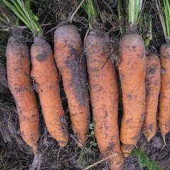 Морковь Фиго F1 /100.000 семян/ *Tezier*
