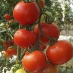 Томат Альтамира F1 /500 семян/ *United Genetics*