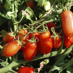 Томат Полличино F1 /10.000 семян/ *United Genetics*