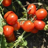 Томат Трипл Рэд F1 /10.000 семян/ *United Genetics*