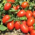 Томат Унирекс F1 /10.000 семян/ *United Genetics*