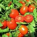 Томат Юджи Рэд F1 /10.000 семян/ *United Genetics*