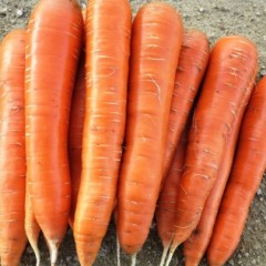 Морковь Колтан F1 /100.000 семян (1,6-1,8)/ *Nunhems Zaden*