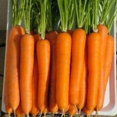 Морковь Лагуна F1 /100.000 семян primed (1,8-2,0)/ *Nunhems Zaden*