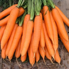 Морковь Сиркана F1 /100.000 семян (1,6-1,8)/ *Nunhems Zaden*