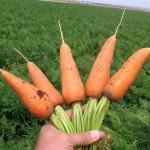 Морковь Ред Кор /1.000 грамм/ *Nunhems Zaden*