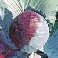 Капуста краснокочанная Лектро F1 /2.500 семян/ *Bejo Zaden*