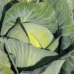 Капуста белокочанная Джубили F1 /2.500 семян/ *Bejo Zaden*