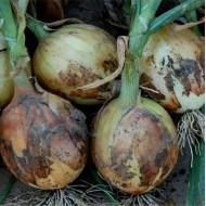 Лук Дерби F1 /250.000 семян normal seeds/ *Bejo Zaden*