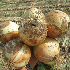 Лук Дерби F1 /250.000 семян precision seeds/ *Bejo Zaden*