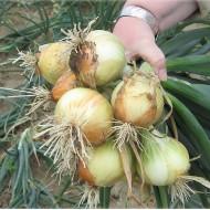 Лук Свифт /250.000 семян precision seeds/ *Bejo Zaden*