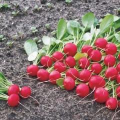Редис Ролекс F1 /5.000 семян (2,25-2,50 мм)/ *Bejo Zaden*