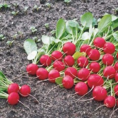 Редис Ролекс F1 /5.000 семян (2,50-2,75 мм)/ *Bejo Zaden*