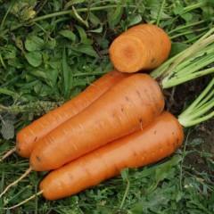 Морковь Канада F1 /1.000.000 семян (1,6-1,8 мм)/ *Bejo Zaden*