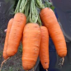 Морковь Кантербьюри F1 /1.000.000 семян (1,6-1,8 мм)/ *Bejo Zaden*