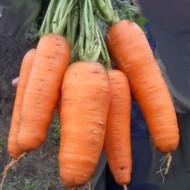 Морковь Кантербьюри F1 /1.000.000 семян (1,8-2,0 мм)/ *Bejo Zaden*