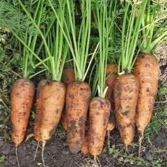 Морковь Каскад F1 /1.000.000 семян (1,6-1,8 мм)/ *Bejo Zaden*