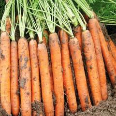 Морковь Наполи F1 /1.000.000 семян (1,6-1,8 мм)/ *Bejo Zaden*