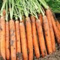 Морковь Наполи F1 /1.000.000 семян (1,8-2,0 мм)/ *Bejo Zaden*