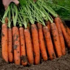 Морковь Наполи F1 /1.000.000 семян (2,0-2,2 мм)/ *Bejo Zaden*