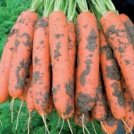 Морковь Ньюкасл F1 /1.000.000 семян (1,8-2,0 мм)/ *Bejo Zaden*