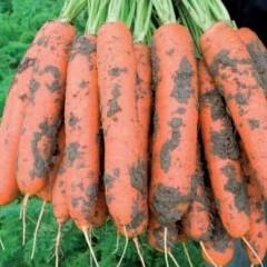 Морковь Ньюкасл F1 /1.000.000 семян (2,0-2,2 мм)/ *Bejo Zaden*