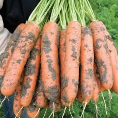 Морковь Балтимор F1 /1.000.000 семян (1,8-2,0 мм)/ *Bejo Zaden*