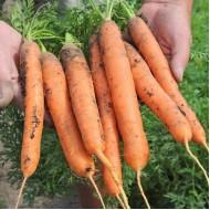 Морковь Балтимор F1 /1.000.000 семян (2,2-2,4 мм)/ *Bejo Zaden*