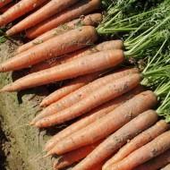 Морковь Бангор F1 /1.000.000 семян (1,8-2,0 мм)/ *Bejo Zaden*