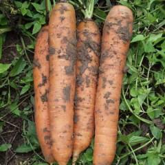 Морковь Бангор F1 /1.000.000 семян (2,0-2,2 мм)/ *Bejo Zaden*