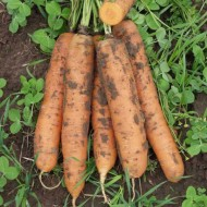 Морковь Бангор F1 /1.000.000 семян (2,2-2,4 мм)/ *Bejo Zaden*