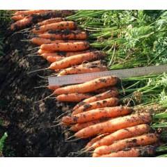 Морковь Белградо F1 /1.000.000 семян (1,6-1,8 мм)/ *Bejo Zaden*