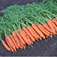 Морковь Белградо F1 /1.000.000 семян (2,0-2,2 мм)/ *Bejo Zaden*