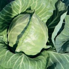Капуста белокочанная Рейма F1 /1.000 семян/ *Rijk Zwaan*