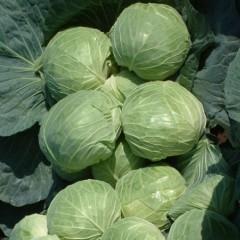 Капуста белокочанная Мультима F1 /1.000 семян калибр/ *Rijk Zwaan*