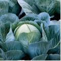 Капуста белокочанная Калорама F1 /1.000 семян калибр/ *Rijk Zwaan*