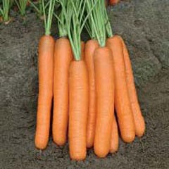 Морковь Монанта /1000 г/ *Rijk Zwaan*