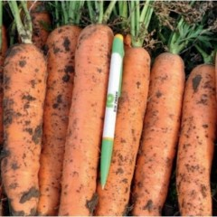 Морковь Фидра F1 /25.000 семян калибр >1,6мм/ *Rijk Zwaan*
