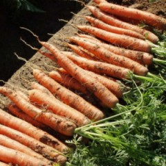 Морковь Фидра F1 /1.000.000 семян калибр >1,6мм/ *Rijk Zwaan*