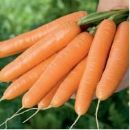 Морковь Крофтон F1 /100.000 семян калибр >1,6мм/ *Rijk Zwaan*