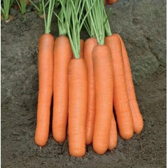 Морковь Морелия F1 /1.000.000 семян калибр >1,6мм/ *Rijk Zwaan*