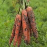 Морковь Трафорд F1 /1.000.000 семян калибр <1,6мм/ *Rijk Zwaan*