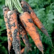 Морковь Трафорд F1 /100.000 семян калибр >1,6мм/ *Rijk Zwaan*