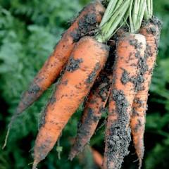 Морковь Трафорд F1 /1.000.000 семян калибр >1,6мм/ *Rijk Zwaan*