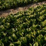 Салат Рафаел /1.000 семян драже/ *Rijk Zwaan*