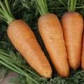 Морковь Шантане /0,5 кг семян/ *Tezier*